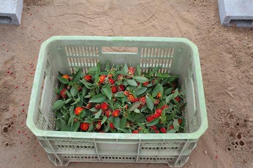 スーパーランタナ『レインボーオレンジ』 鉢花 生産 8号鉢 ショップチャンネル ワールドフラワーサービス 生産 販売 松原園芸