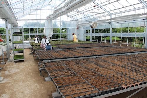 デュランタ Duranta repens タカラヅカ ポット上げ  生産 販売 松原園芸