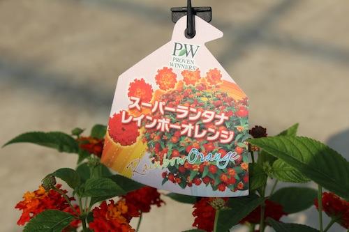 スーパーランタナ レインボーオレンジ 7号鉢 生産 販売 松原園芸