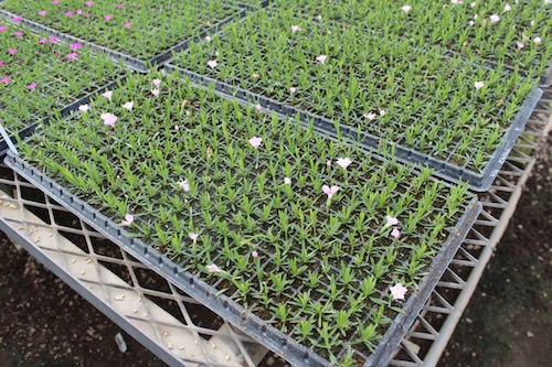四季咲きナデシコ   育種 生産 販売 松原園芸