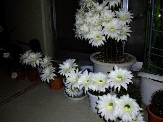 150614_3196今夜のサボテンの花wideVGA