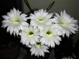 150614_3195今夜の子サボテンの花束zoomVGA