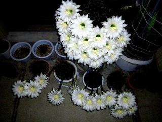 150614_3203今夜のサボテンの花wideVGA