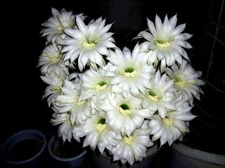 150614_3202今夜の親サボテンの花束VGA