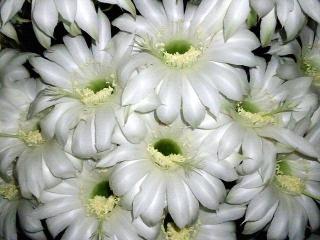 150614_3205親サボテンの花束VGA