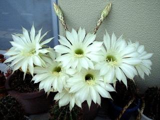 150615_3216子サボテンの花VGA