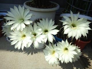 150615_3218子サボテンの花VGA