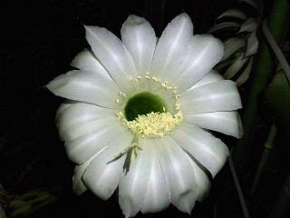 150615_3220今夜のサボテンの花VGA
