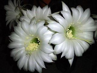 150615_3221今夜のサボテンの花VGA