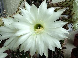 150616_3226今朝の子サボテンの花VGA