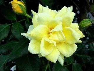 150620_3233ご近所の黄色い薔薇VGA