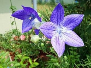 150623_3239ご近所の花壇に咲く桔梗VGA