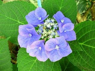 150702_3275ご近所の花壇で見つけた小さな額紫陽花VGA