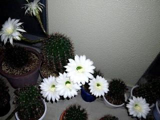 150705_3294今夜のサボテンの花VGA