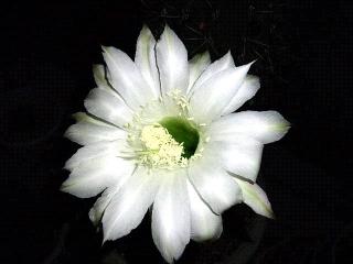 150705_3295今夜の親サボテンの花VGA