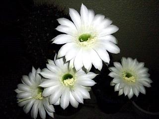 150705_3296今夜の子サボテンの花VGA