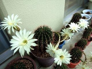 150706_3297今朝のサボテンの花VGA