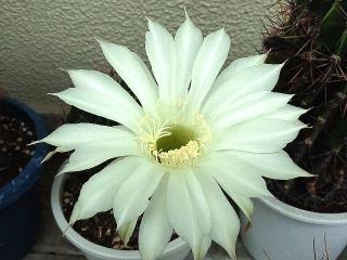150706_3298今朝のサボテンの花VGA