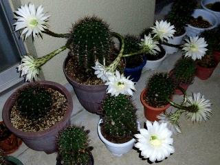 150706_3301昨夜咲いたサボテンの花達の名残VGA