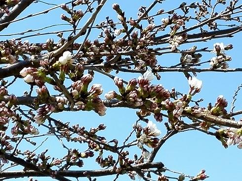 5 桜の開花状況