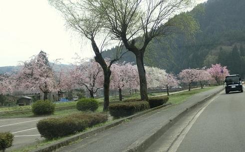 4 越前一乗谷の桜