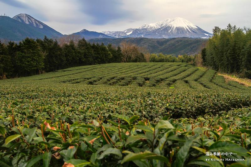 鳥取県 米子市 壺瓶山 茶畑 大山