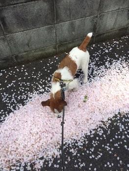 桜のじゅうたん②
