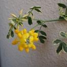 コロニラの花