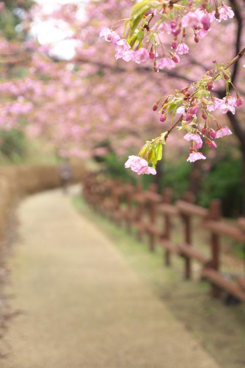 20150301城山歴史公園河津桜09
