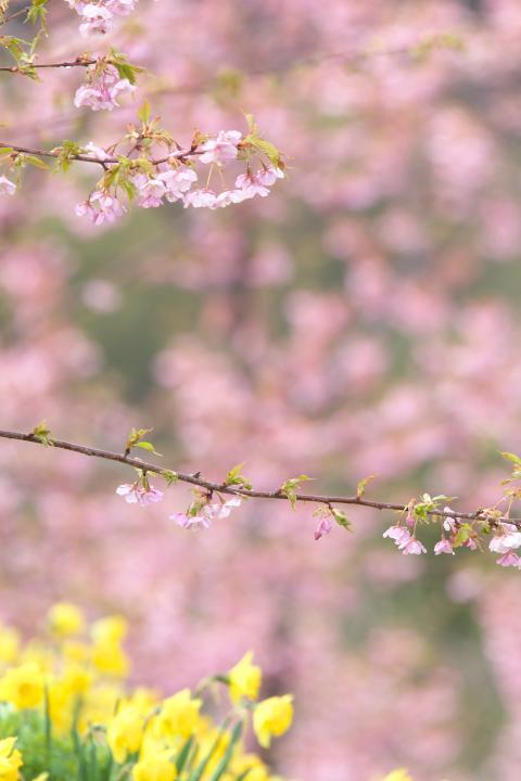 20150301城山歴史公園河津桜06