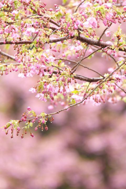20150301城山歴史公園河津桜08