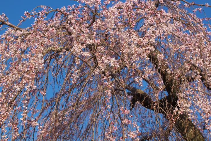 20150326土穂石八幡宮のシダレ桜01