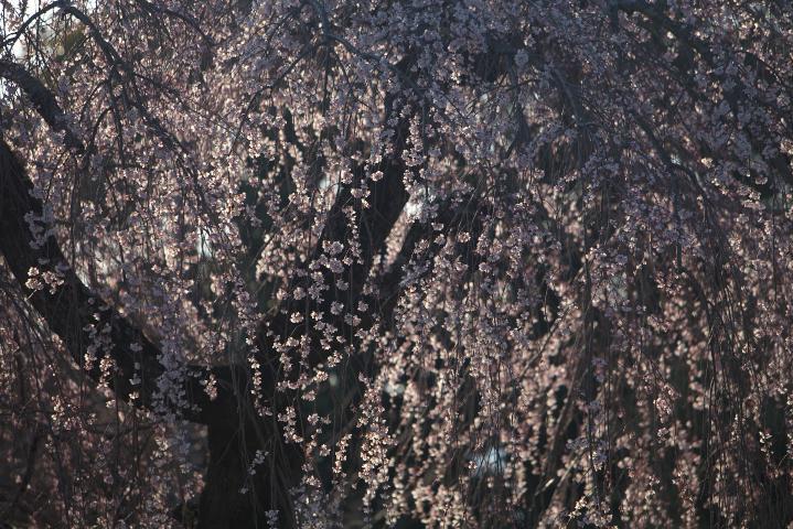 20150326土穂石八幡宮のシダレ桜03