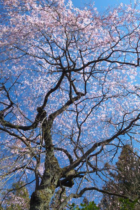 20150328明顕寺のしだれ桜01