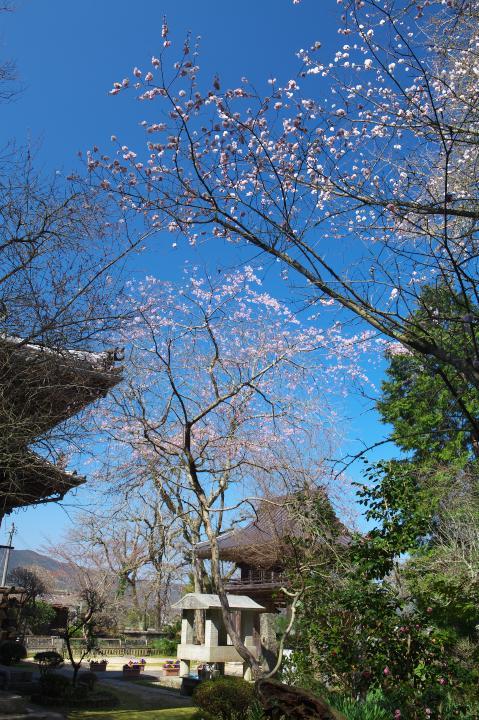 20150328明顕寺のしだれ桜02
