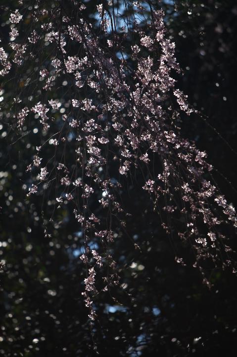 20150328明顕寺のしだれ桜03