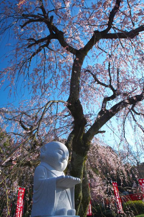 20150328般若寺のしだれ桜03