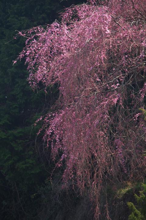 20150329帯石観音下のシダレ桜03
