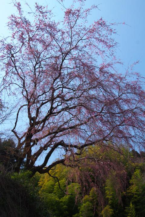 20150329帯石観音下のシダレ桜02