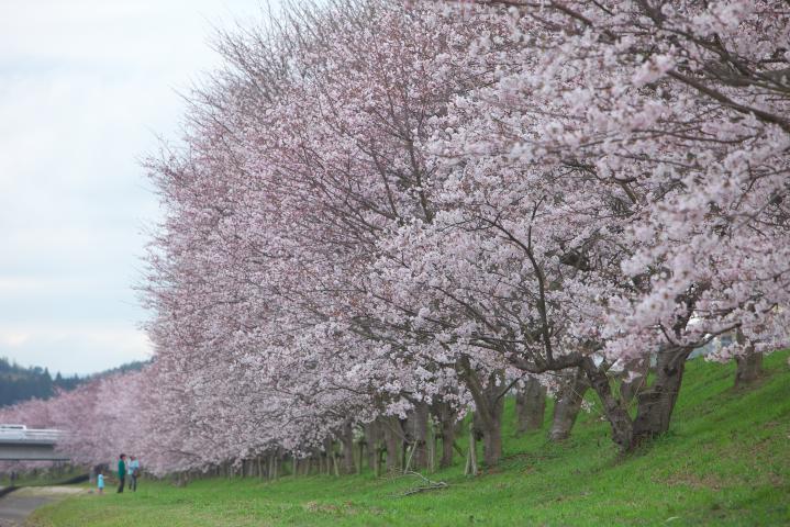 20150401田布施川の桜並木02