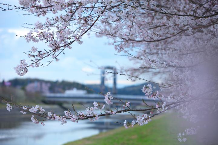 20150401田布施川の桜並木03