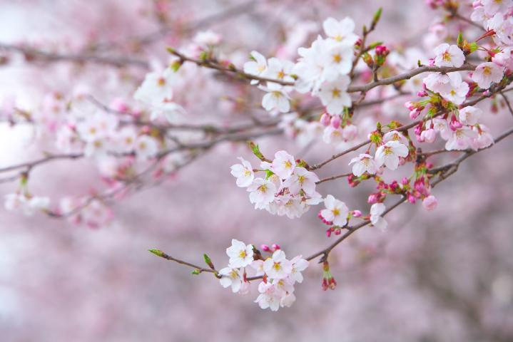 20150401田布施川の桜並木04