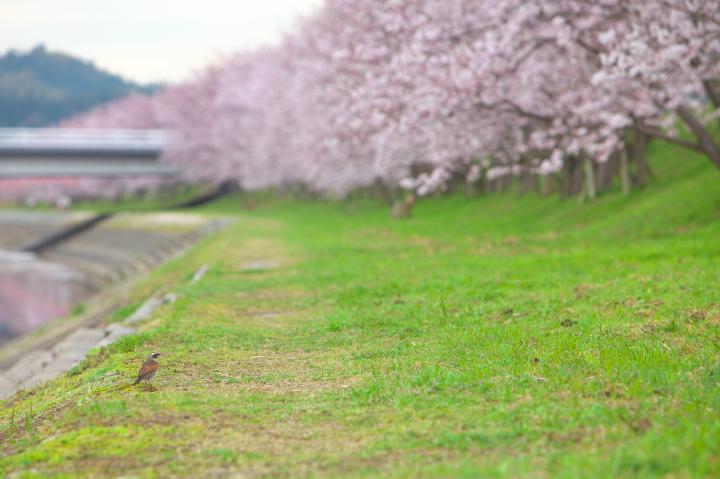20150401田布施川の桜並木05