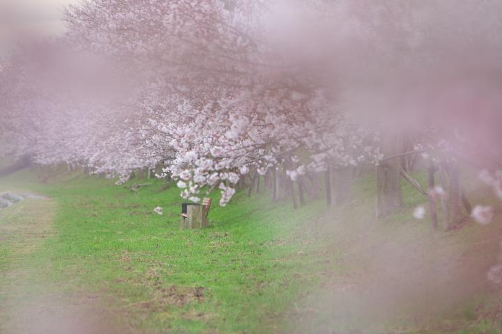 20150401田布施川の桜並木06