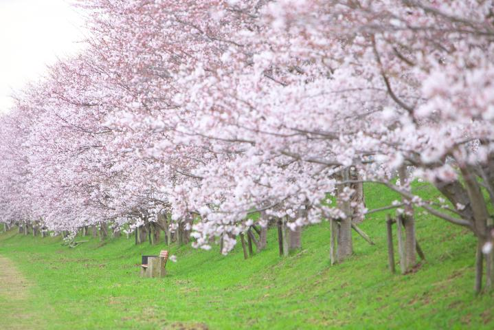 20150401田布施川の桜並木07
