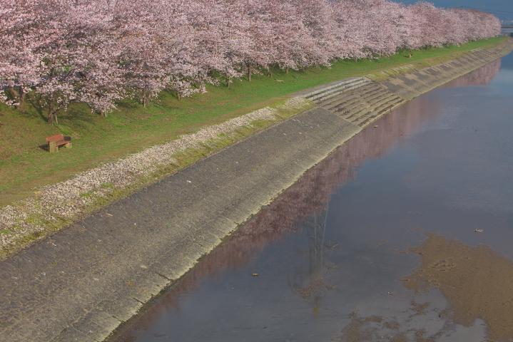 20150401田布施川の桜並木08