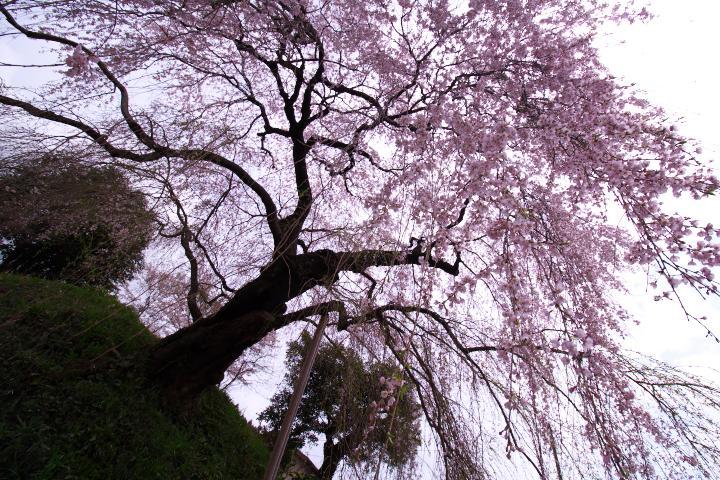 20150404弾正糸桜01