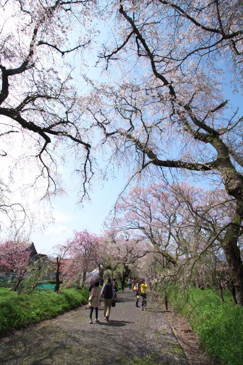 20150404徳佐八幡宮しだれ桜01
