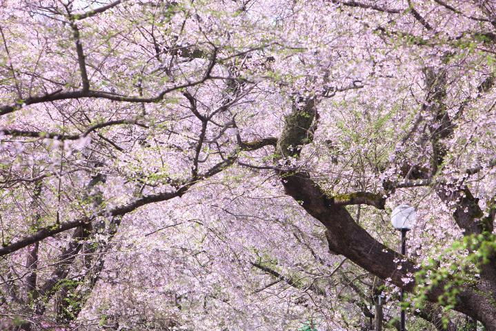 20150404徳佐八幡宮しだれ桜04