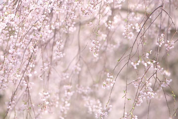 20150404徳佐八幡宮しだれ桜05